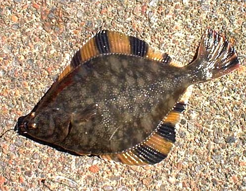 Starry Flounder - Pier Fishing in California