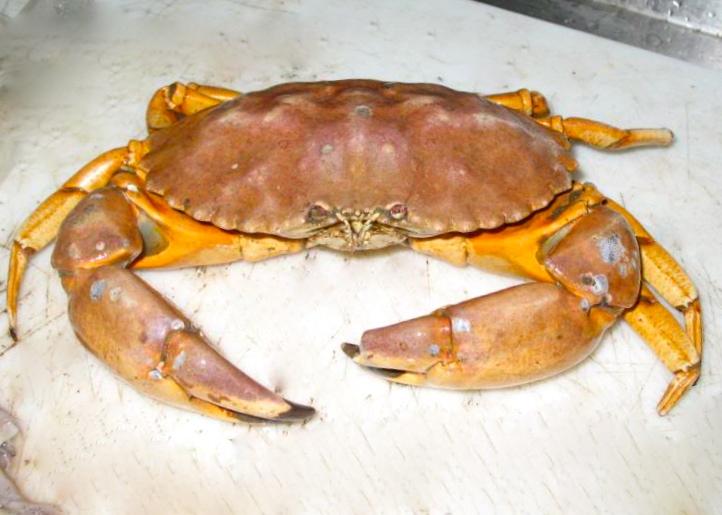 Yellow Crab Aka Yellow Rock Crab Pier Fishing In California